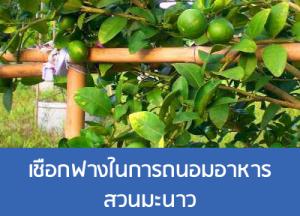 เชือกฟางในการถนอมอาหารสวนมะนาว